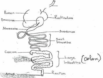 PigProj together with Digestive System Worksheet besides Extrahepatic bile ducts also Cartuningpics besides CrayfishDissection2. on stomach system diagram