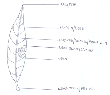 Biology paper 3 may june 2015 e drawingdiagram of leaf of specimen a tl title ccuart Image collections
