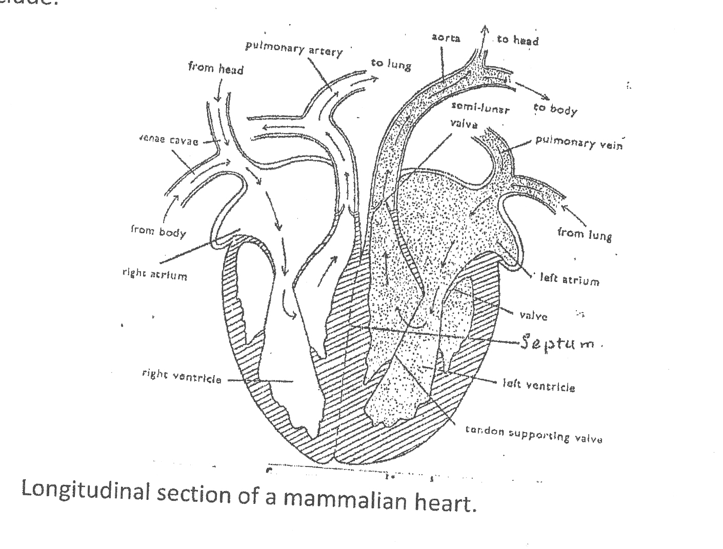Diagram of the heart and blood flow images diagram design ideas biology 2 novdec 2009 mammalian blood flow from the heart to the lungs and back to nvjuhfo Gallery